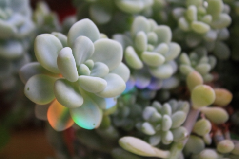 Good To Grow, Liza's plants, succulent rainbow love