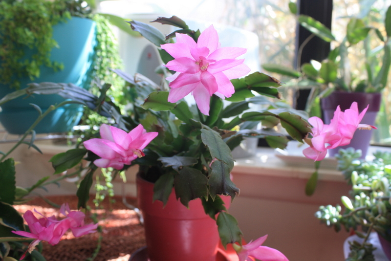 Christmas Cactus still blooming in April