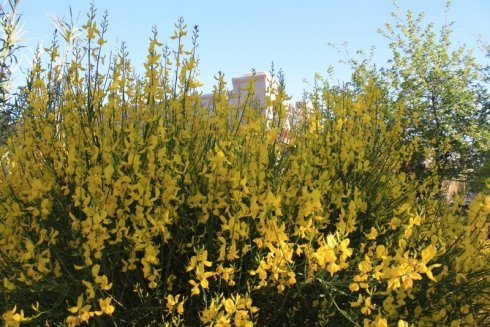 Good To Grow, Liza's photos, Spanish Broom