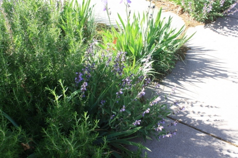 Good To Grow, Liza's photos, Sage is prolific