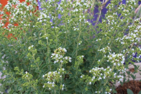 Good To Grow, Liza's photos, oregano blooming