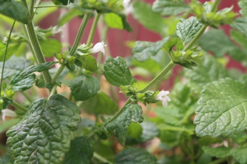 Good To Grow, Liza's  photos, lemon balm blooming