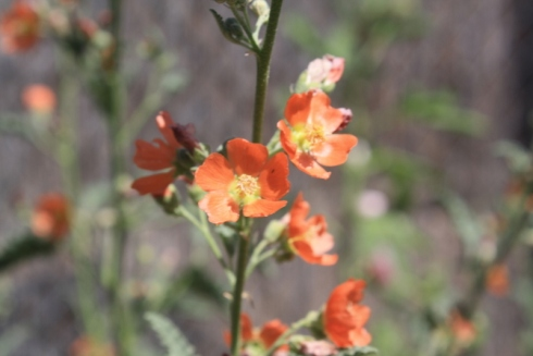 Good To Grow, Liza's photos, Globe Mallow