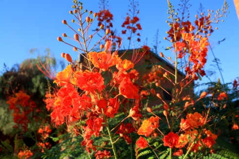 Good To Grow, Liza's photos, Caesalpinia pulcherrima