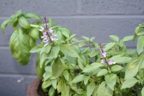 Good To Grow, Liza's photos, basil plant trying to flower