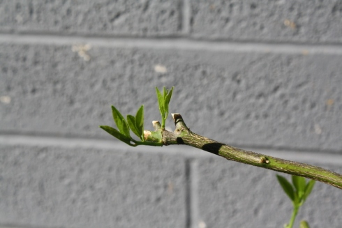 Good To Grow, Liza's photos, new growth on the lime tree