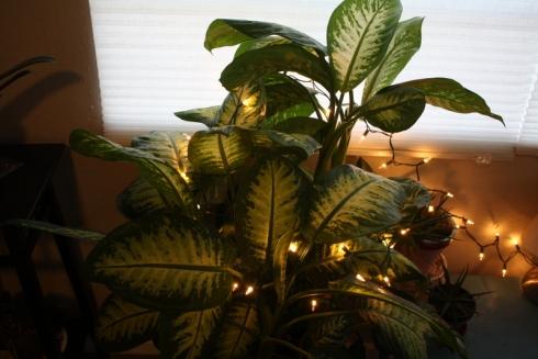Good To Grow, Liza's photos, Danny a Christmas Dieffenbachia