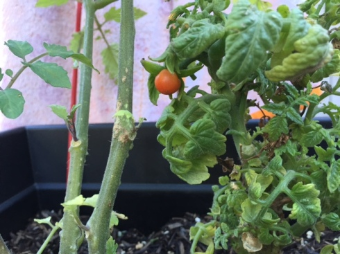 Good To Grow, Liza's photos, ripe tomato in January