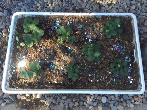 Good To Grow, Liza's photos, Strawberries with bling