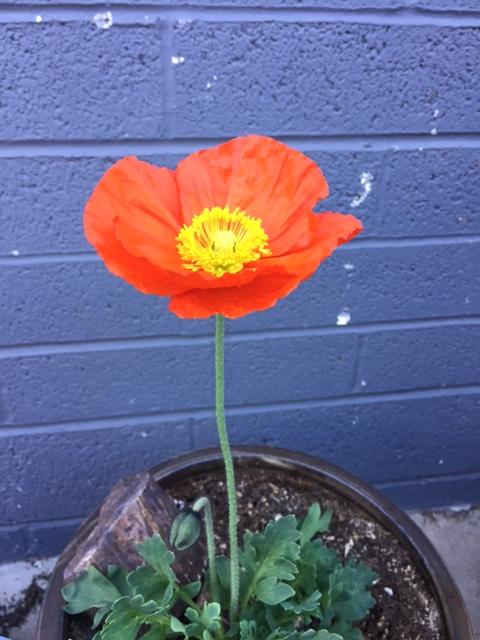 Good To Grow, Liza's photos, Beautiful Poppy Flower