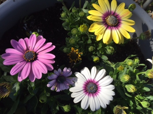 Good To Grow, Liza's photos, Osteospermum flowers