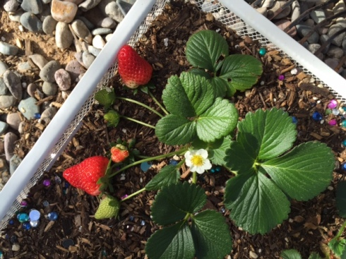 Good To Grow, Liza's photos, ripe strawberries in March!