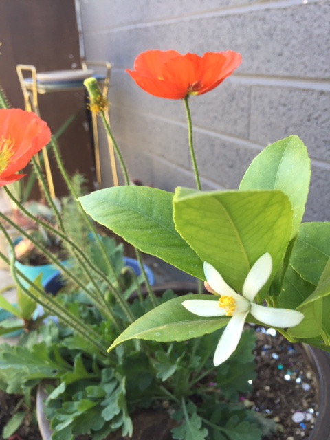 Good To Grow, Liza's photos, Citrus flower and Poppies