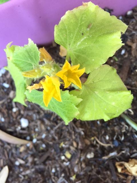 Good To Grow, Liza's photos, first cucumber flower