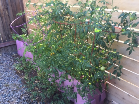 Good To Grow, Liza's photos, pear tomatoes ripening