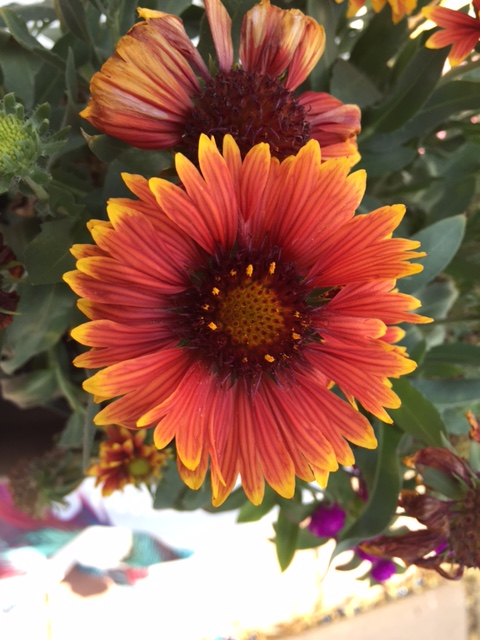 Good To Grow, Liza's photos, Gaillardia flowers