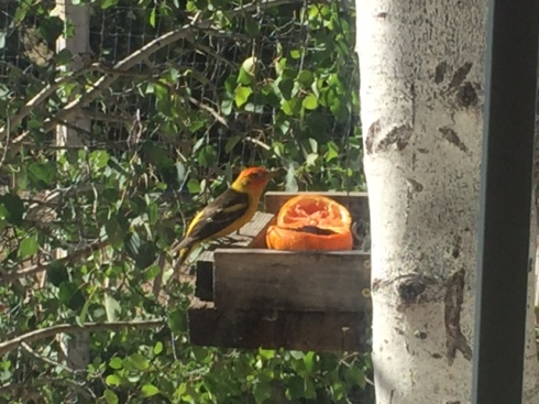 Good To Grow, Liza's photos, Western Tanagers