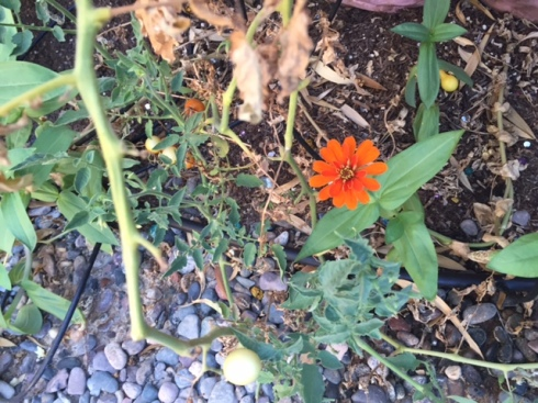 Good To Grow, Liza's photos, zinnia blooming against the odds