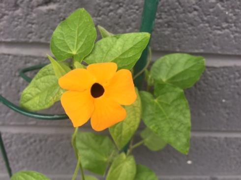 Good To Grow, Liza's photos, Christmas Eve Thunbergia bloom