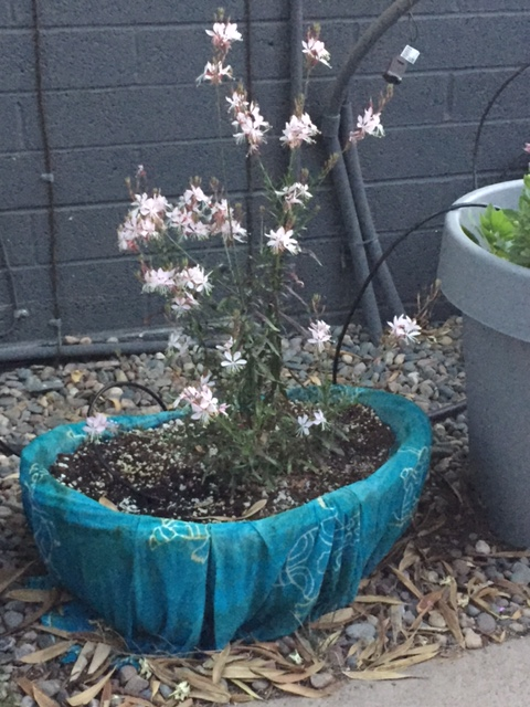 Beautiful Gaura, Good To Grow, Liza's plants