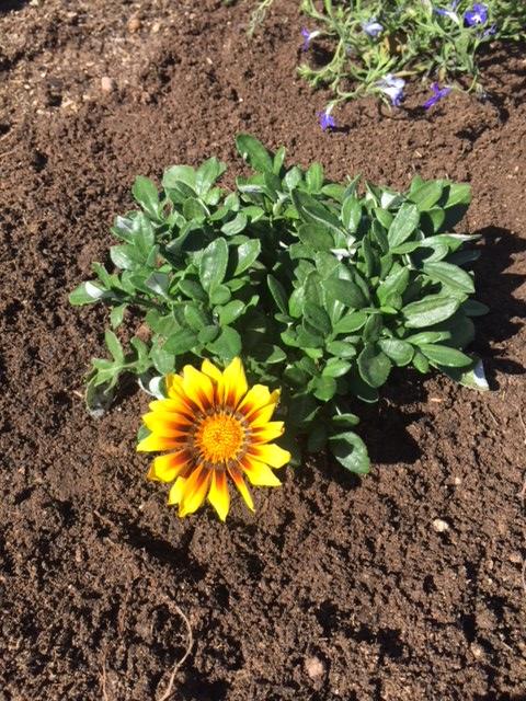Good To Grow, Liza's photos, Gazania flower