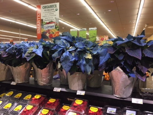Good To Grow, Liza's photos, blue Poinsettias