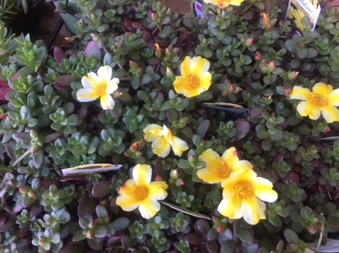 Portulaca Lemon Twist