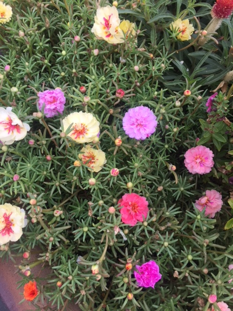 Portulaca, Good To Grow, Liza's photos