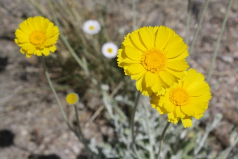 Desert Marigolds, Liza's photos, Good To Grow blog