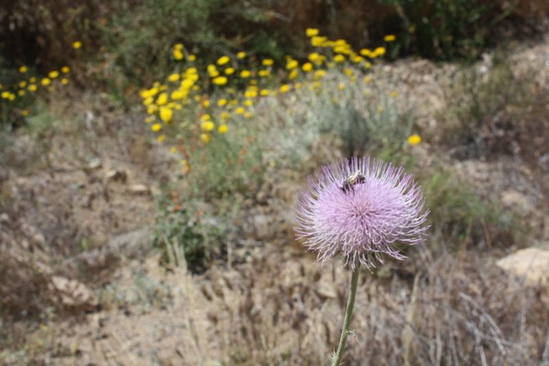 Desert Marigolds, Liza's photos, Good To Grow blog